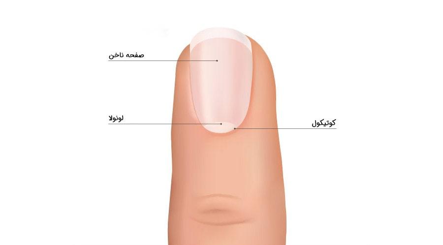 شناخت قسمت های مختلف ناخن برای مراقبت از ناخن ها