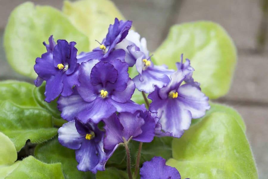 گل بنفشه آفریقایی گیاهان آپارتمانی