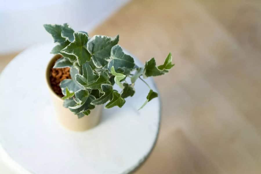 گل پیچک انگلیسی گیاهان آپارتمانی