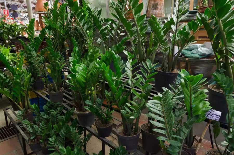 گیاه زامیوکالکاس گیاهان آپارتمانی